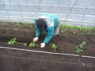 110511トマト植え付け.jpg