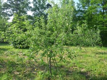 110606りんごの木.jpg