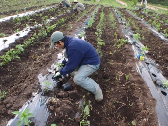 110607夏野菜定植姿.jpg