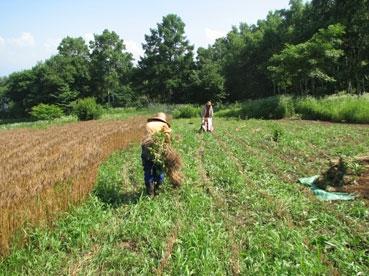 小麦刈り取り、成110717.jpg