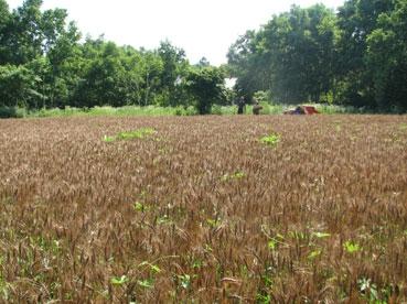 小麦フィールド110717.jpg