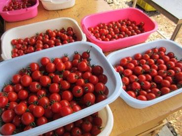 ミニトマトたくさん110723.jpg