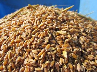 小麦どアップ110803.jpg