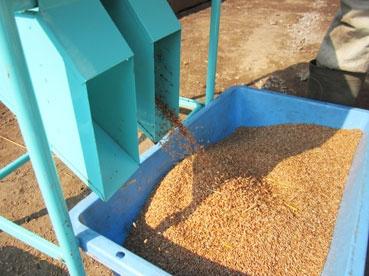 小麦出てる110803.jpg