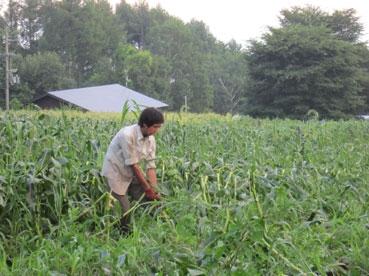 モロコシ畑お掃除中、綿110808.jpg