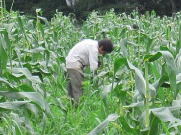 トウモロコシひっぱる綿110808.jpg