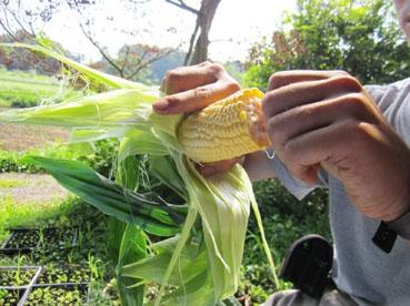 トウモロコシ110810.jpg