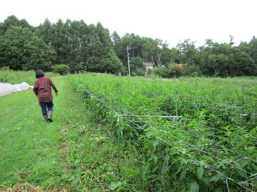 夏野菜誘引110901.jpg