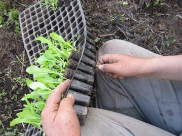 セルトレイから大豆の芽出す110909.jpg