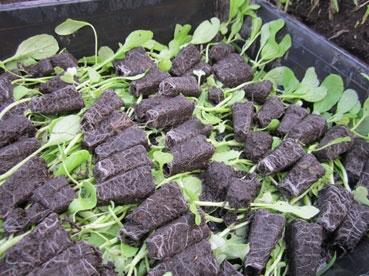 セルトレイに大豆の芽110909.jpg