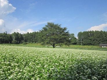 そば畑110912.jpg