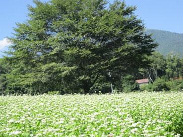 そばの花と木110915.jpg