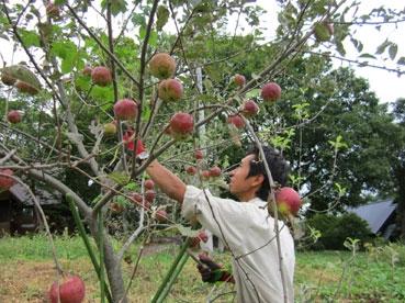 綿とりんご110918.jpg