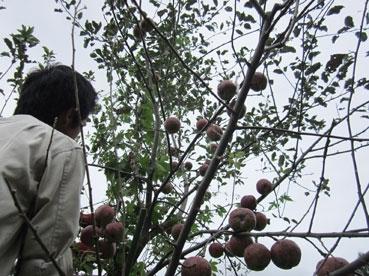 りんごと綿下からのアングル110918.jpg