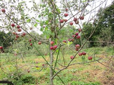 りんご110922.jpg