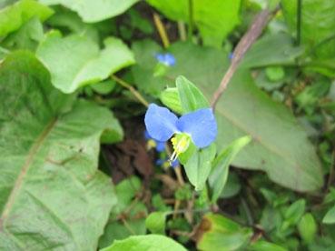 青い花110924.jpg