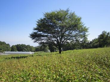 そば畑が茶色になった110929.jpg