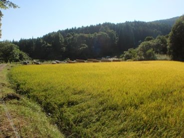田んぼ黄金111009.jpg