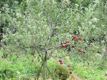 リンゴ110924.jpg