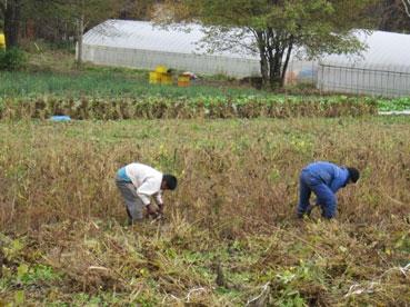 刈り取り120208.jpg