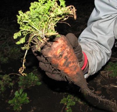 carrot.farm.jpg
