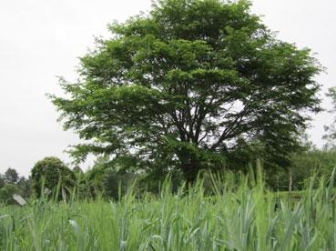 ファームの木.jpg